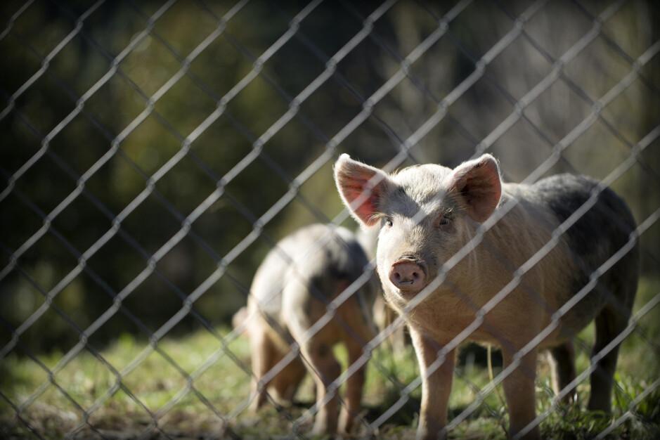 Huawei está recurriendo a las granjas de cerdos y las minas para compensar los ingresos que está perdiendo de su negocio de teléfonos inteligentes - Buscando reemplazar las ventas perdidas de teléfonos inteligentes, Huawei recurre a la cría de cerdos
